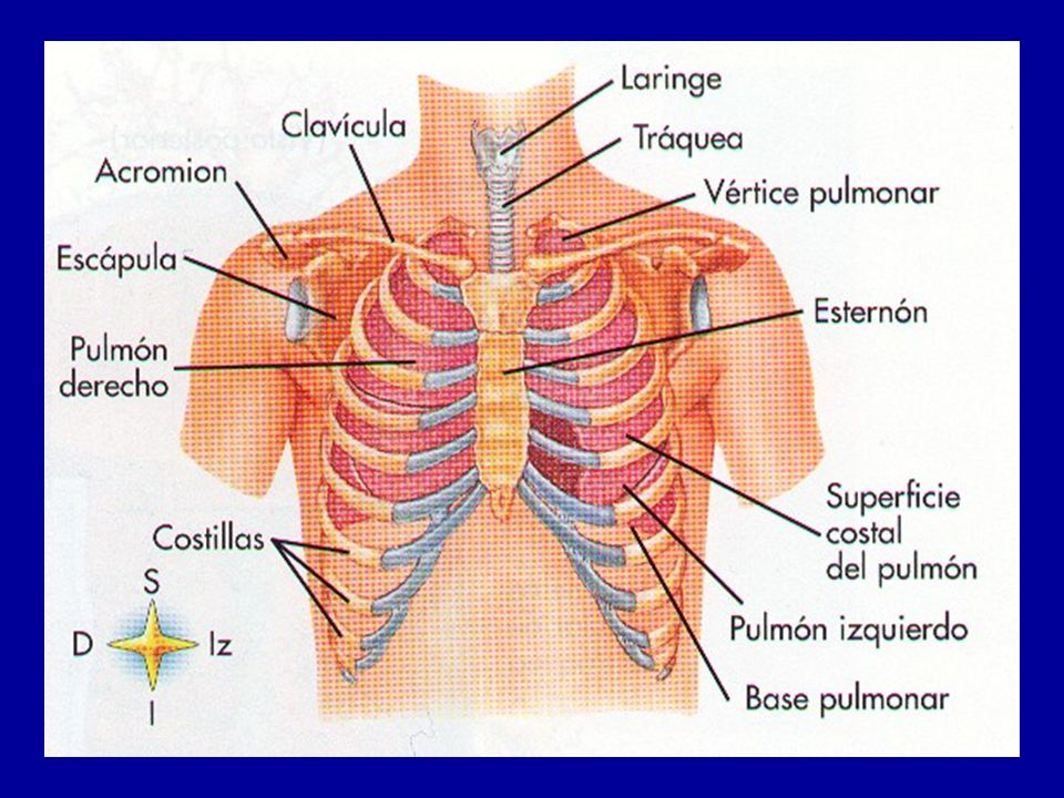 P O 2 = 95-100 mmHg 40 mmHg P O 2 = 40 mmHg 23 mmHg Difusión de oxígeno desde un capilar tisular a las células (Modificado de Guyton, por I.