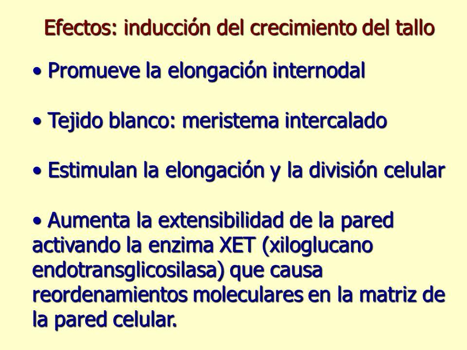 Efectos: inducción del crecimiento del tallo Promueve la elongación internodal Promueve la elongación internodal Tejido blanco: meristema intercalado
