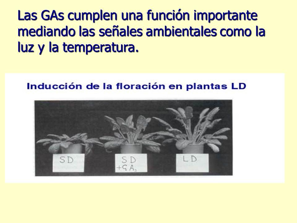 Las GAs cumplen una función importante mediando las señales ambientales como la luz y la temperatura.