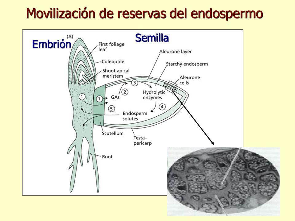 Embrión Semilla Movilización de reservas del endospermo
