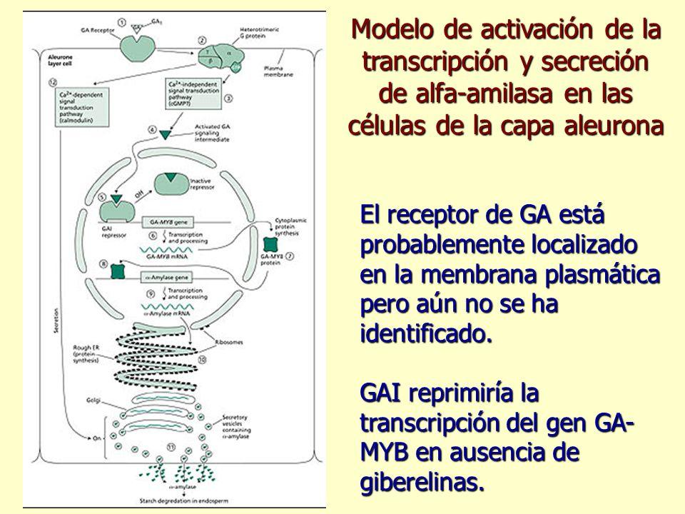 Modelo de activación de la transcripción y secreción de alfa-amilasa en las células de la capa aleurona El receptor de GA está probablemente localizad
