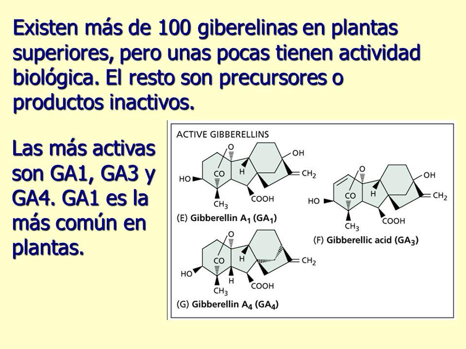 Existen más de 100 giberelinas en plantas superiores, pero unas pocas tienen actividad biológica. El resto son precursores o productos inactivos. Las