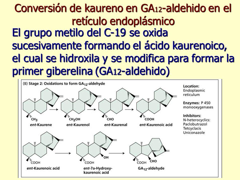 Conversión de kaureno en GA 12 -aldehido en el retículo endoplásmico El grupo metilo del C-19 se oxida sucesivamente formando el ácido kaurenoico, el