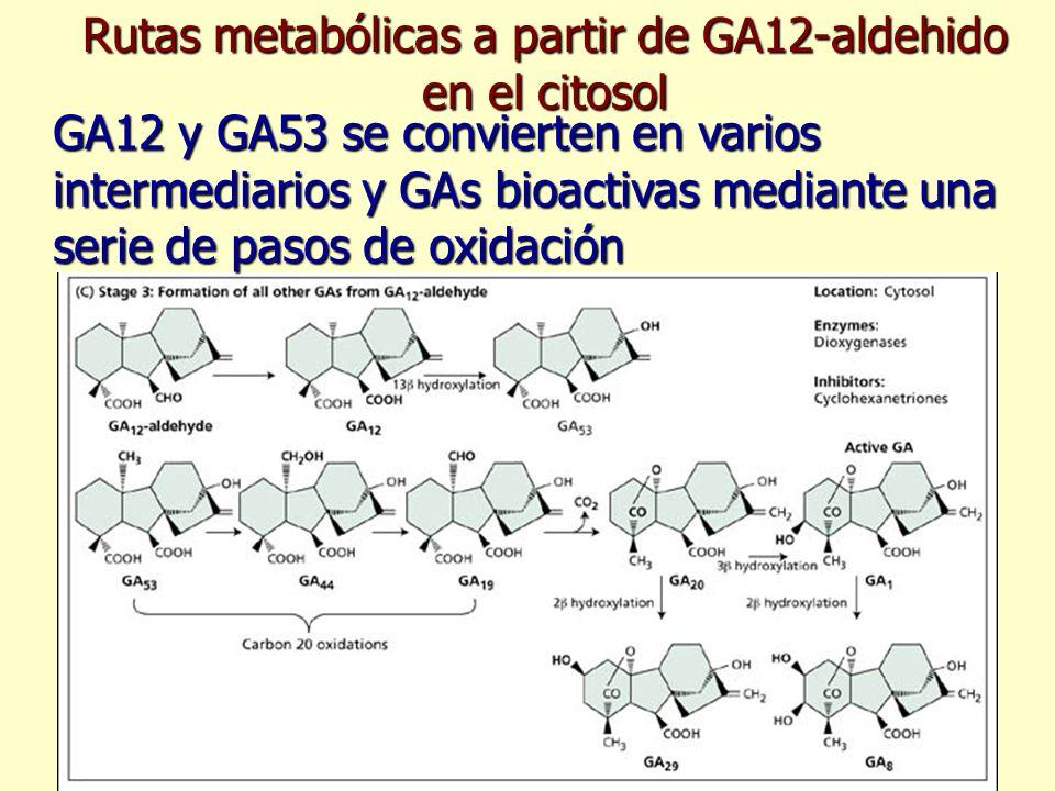 Rutas metabólicas a partir de GA12-aldehido en el citosol GA12 y GA53 se convierten en varios intermediarios y GAs bioactivas mediante una serie de pa