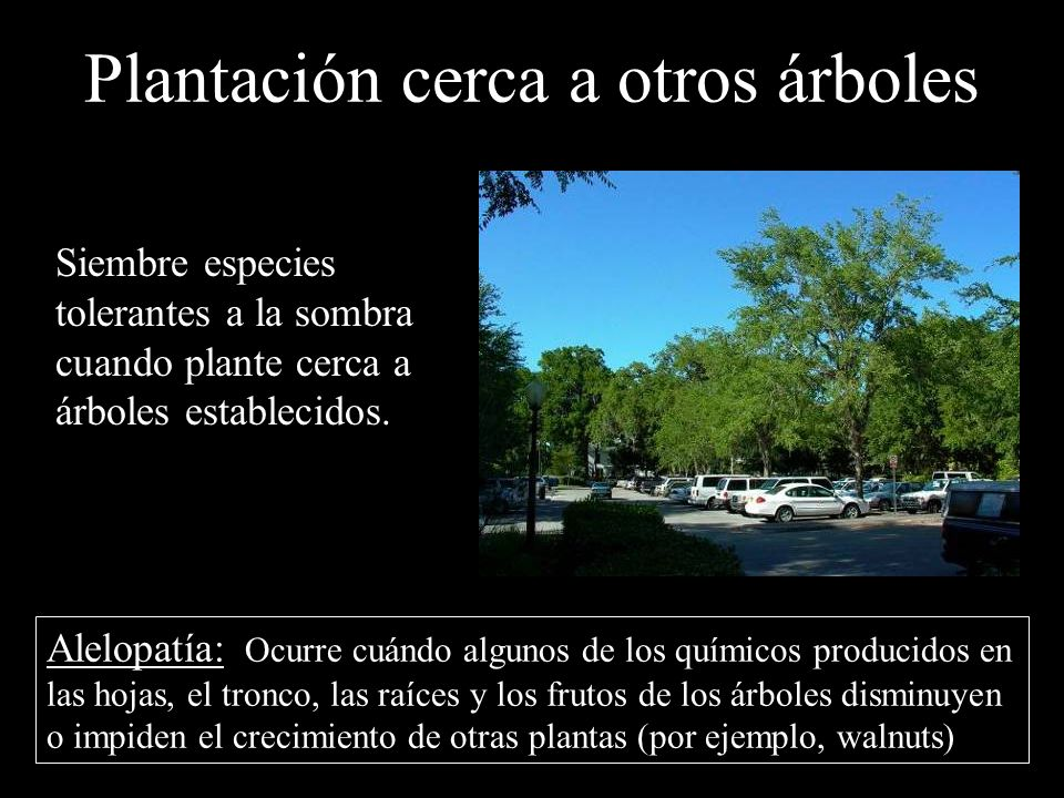 Plantación cerca a otros árboles Siembre especies tolerantes a la sombra cuando plante cerca a árboles establecidos. Alelopatía: Ocurre cuándo algunos