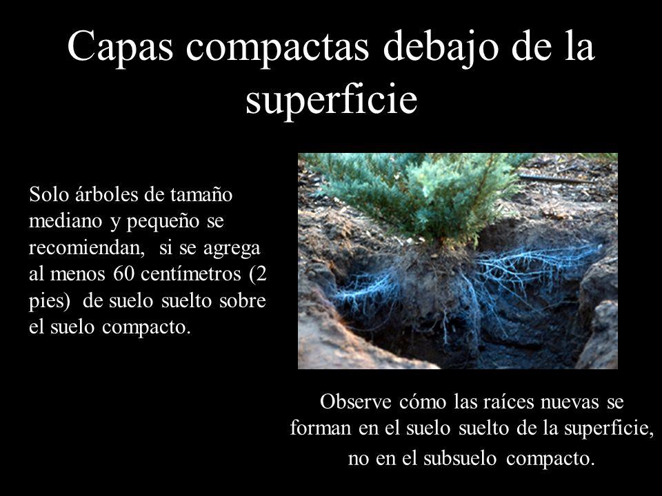 Capas compactas debajo de la superficie Solo árboles de tamaño mediano y pequeño se recomiendan, si se agrega al menos 60 centímetros (2 pies) de suel