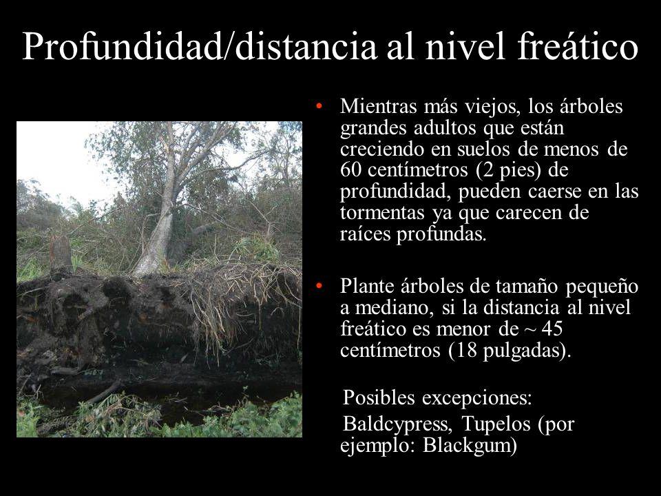 Profundidad/distancia al nivel freático Mientras más viejos, los árboles grandes adultos que están creciendo en suelos de menos de 60 centímetros (2 p