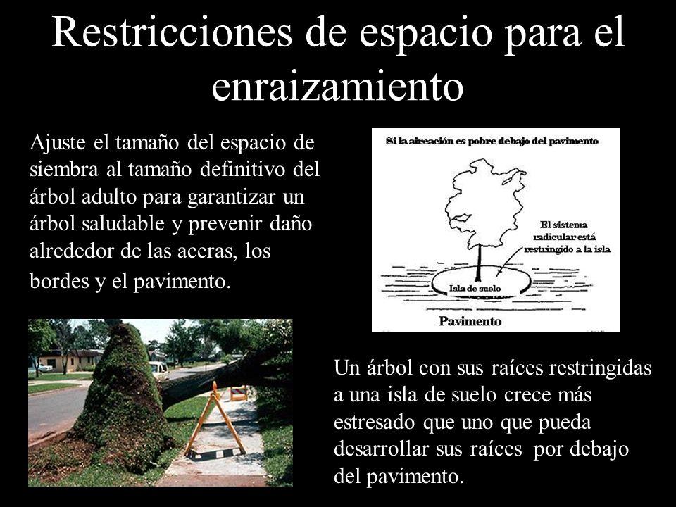 Restricciones de espacio para el enraizamiento Ajuste el tamaño del espacio de siembra al tamaño definitivo del árbol adulto para garantizar un árbol