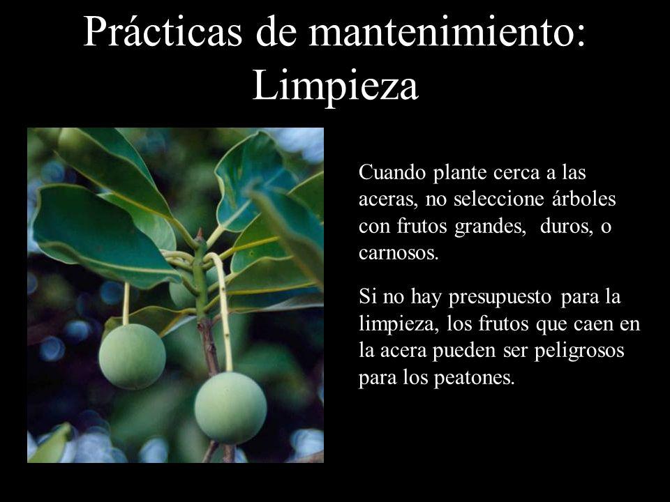 Prácticas de mantenimiento: Limpieza Cuando plante cerca a las aceras, no seleccione árboles con frutos grandes, duros, o carnosos. Si no hay presupue
