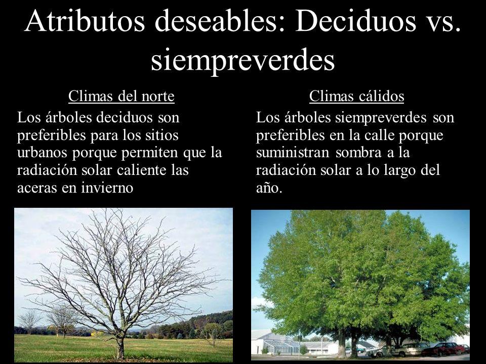 Climas del norte Los árboles deciduos son preferibles para los sitios urbanos porque permiten que la radiación solar caliente las aceras en invierno C