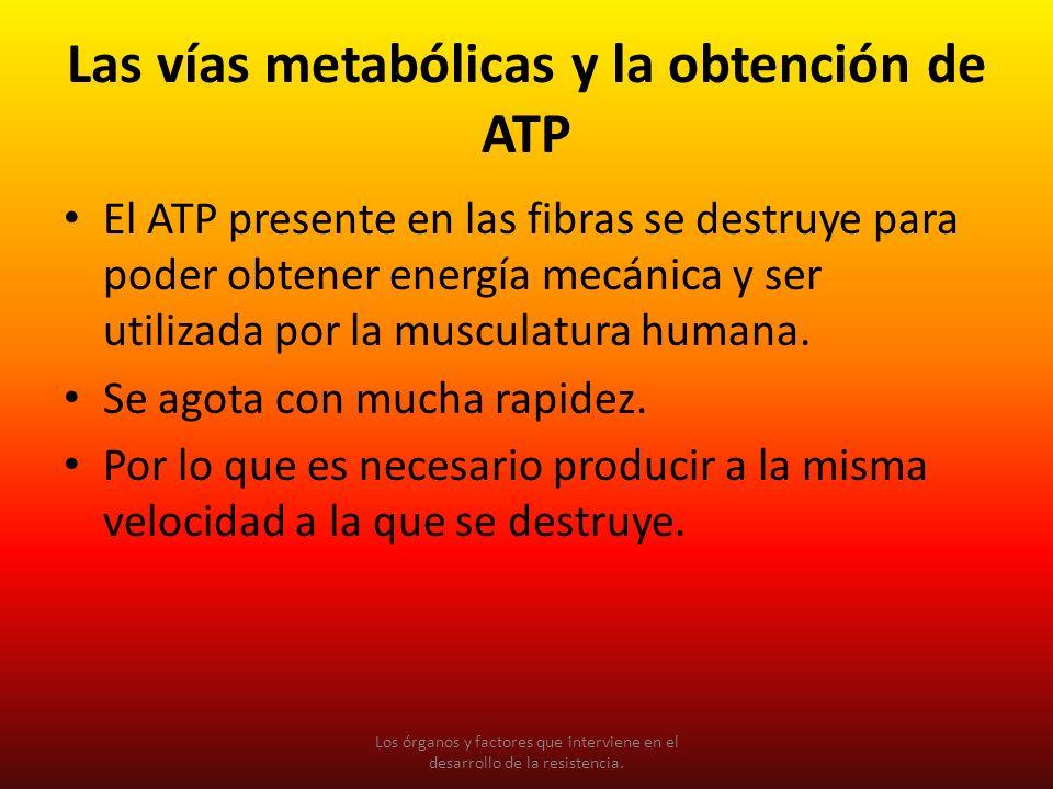 Las vías metabólicas y la obtención de ATP El ATP presente en las fibras se destruye para poder obtener energía mecánica y ser utilizada por la muscul