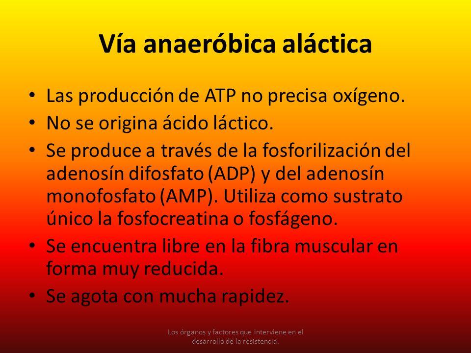 Vía anaeróbica aláctica Las producción de ATP no precisa oxígeno. No se origina ácido láctico. Se produce a través de la fosforilización del adenosín