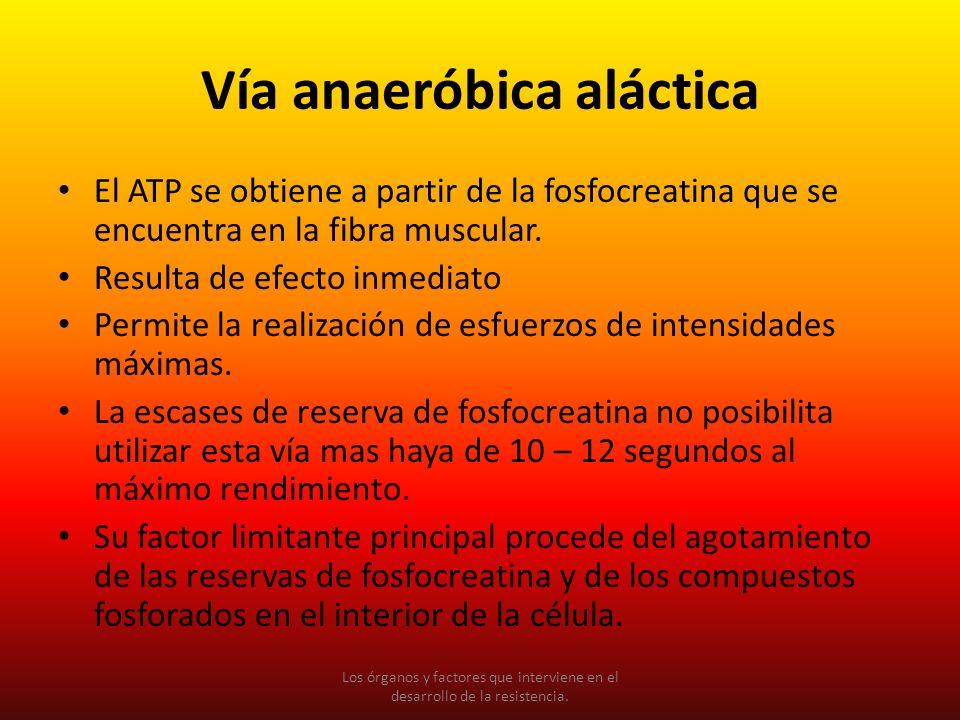 Vía anaeróbica aláctica El ATP se obtiene a partir de la fosfocreatina que se encuentra en la fibra muscular. Resulta de efecto inmediato Permite la r