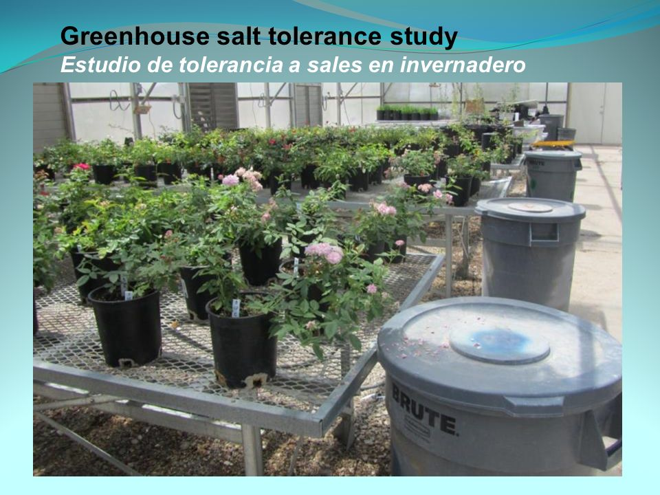 Greenhouse salt tolerance study Estudio de tolerancia a sales en invernadero