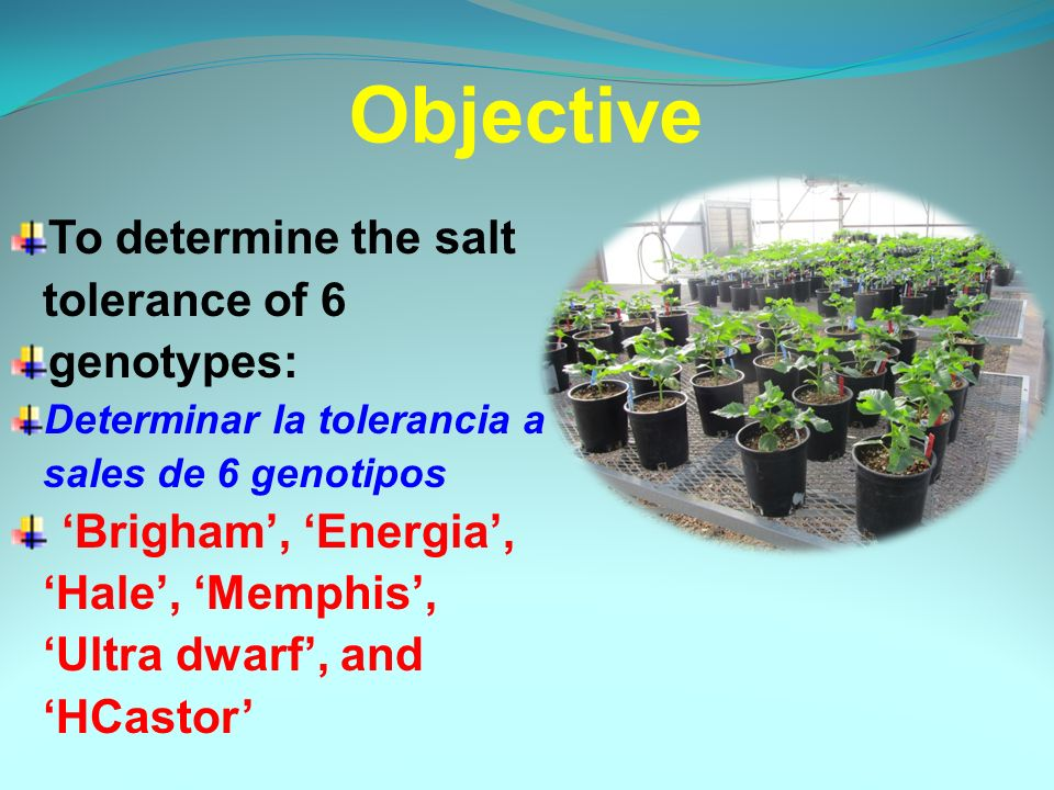 To determine the salt tolerance of 6 genotypes: Determinar la tolerancia a sales de 6 genotipos Brigham, Energia, Hale, Memphis, Ultra dwarf, and HCastor Objective