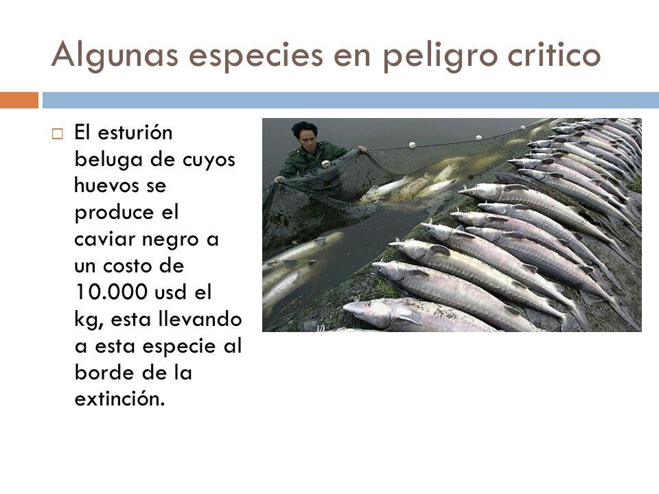 Algunas especies en peligro critico El esturión beluga de cuyos huevos se produce el caviar negro a un costo de 10.000 usd el kg, esta llevando a esta especie al borde de la extinción.