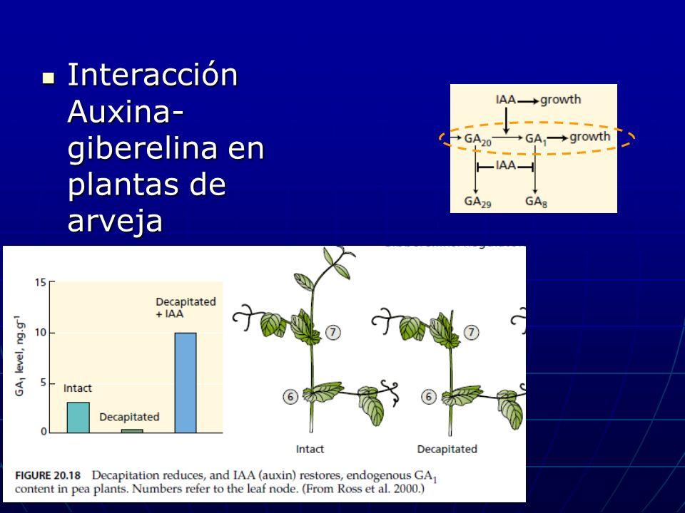 Interacción Auxina- giberelina en plantas de arveja Interacción Auxina- giberelina en plantas de arveja