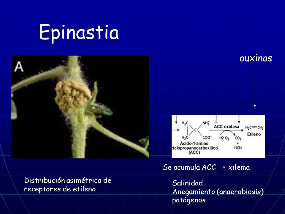 Salinidad Anegamiento (anaerobiosis) patógenos Se acumula ACC xilema Distribución asimétrica de receptores de etileno auxinas Epinastia
