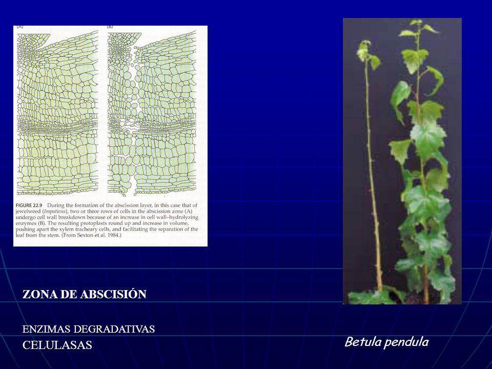 ZONA DE ABSCISIÓN ENZIMAS DEGRADATIVAS CELULASAS Betula pendula