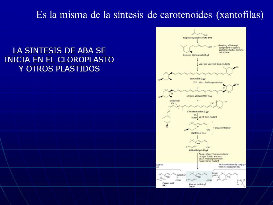 Es la misma de la síntesis de carotenoides (xantofilas) LA SINTESIS DE ABA SE INICIA EN EL CLOROPLASTO Y OTROS PLASTIDOS