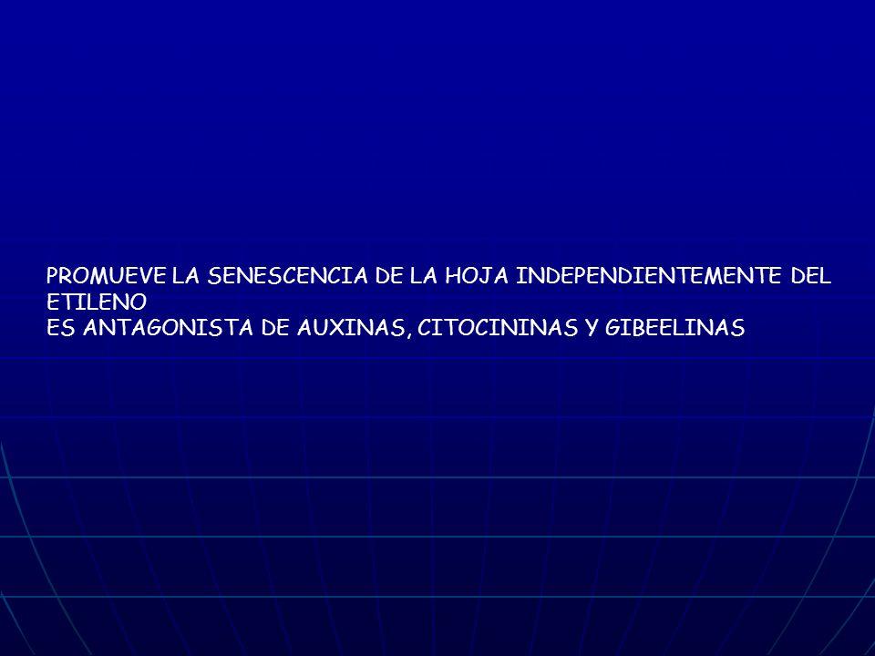 PROMUEVE LA SENESCENCIA DE LA HOJA INDEPENDIENTEMENTE DEL ETILENO ES ANTAGONISTA DE AUXINAS, CITOCININAS Y GIBEELINAS