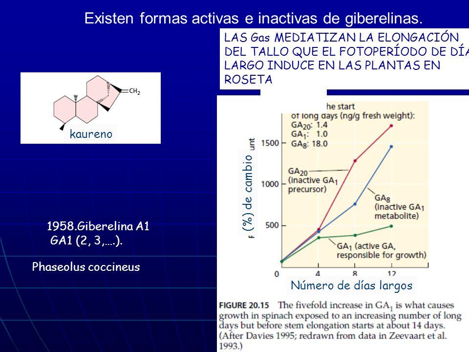Existen formas activas e inactivas de giberelinas. kaureno Phaseolus coccineus (%) de cambio Número de días largos 1958.Giberelina A1 GA1 (2, 3,….). L
