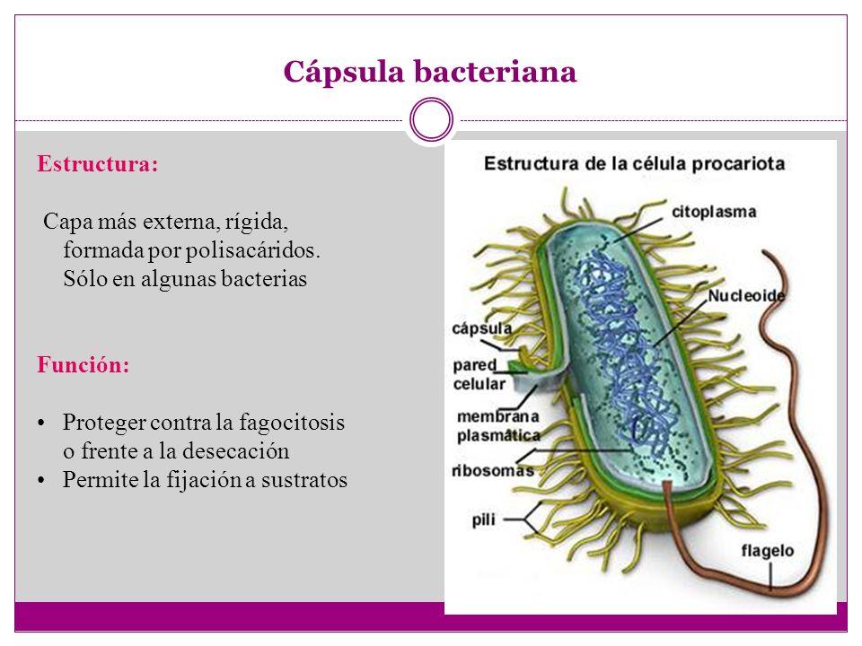 Funciones de los componentes Cápsula bacteriana Proteger contra la fagocitosis o frente a la desecación Permite la fijación a sustratos Pared bacteriana Da forma a la bacteria, Proporciona rigidez Soporta presiones osmóticas elevadas Membrana plasmática Delimitar el citoplasma Permite de forma selectiva el paso de sustancias entre el interior y el exterior Alberga algunos procesos metabólicos como respiración o fotosíntesis CitoplasmaAlberga el nucleoide, plásmidos, ribosomas, vesículas de gas y gránulos o inclusiones, Lugar donde se lleva a cabo muchas de las reacciones metabólicas RibosomasSíntesis de proteínas InclusionesGránulos (o inclusiones): fuente de reserva de compuestos Orgánulos especiales Vesícula de gas: permitir flotabilidad y desplazamientos verticales Clorosomas: fotosíntesis Carboxisomas: fijación CO 2 Cromosoma bacteriano Llevar y transmitir la información genética PlásmidosConferir alguna característica ventajosa para la bacteria FlagelosMovilidad Pelos Fimbrias: adhesión a sustrato Pelos sexuales: Transmisión de ADN