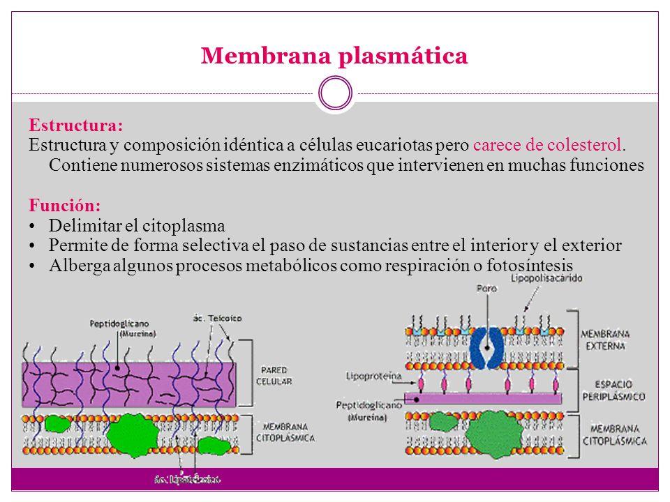 Citoplasma Alberga el nucleoide, plásmidos, ribosomas, vesículas de gas y gránulos o inclusiones, Función: Lugar donde se lleva a cabo muchas de las reacciones metabólicas