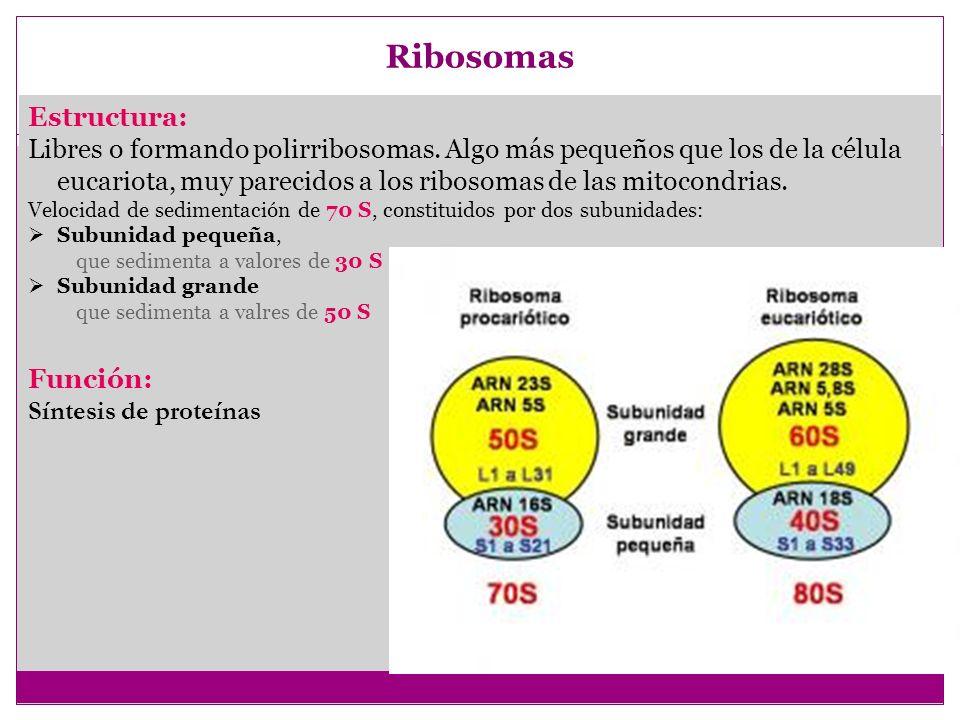 Gránulos (o inclusiones) Estructura: Sin membrana, dispersos por el citoplasma.