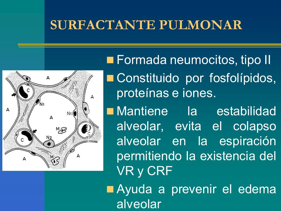 SURFACTANTE PULMONAR Formada neumocitos, tipo II Constituido por fosfolípidos, proteínas e iones. Mantiene la estabilidad alveolar, evita el colapso a