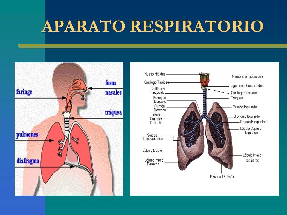ESTRUCTURAS Y FUNCIONES DEL SISTEMA RESPIRATORIO Anatómicamente se divide en : a) Tracto respiratorio Alto: FN, cavidad nasal, cavidad oral, faringe y laringe.