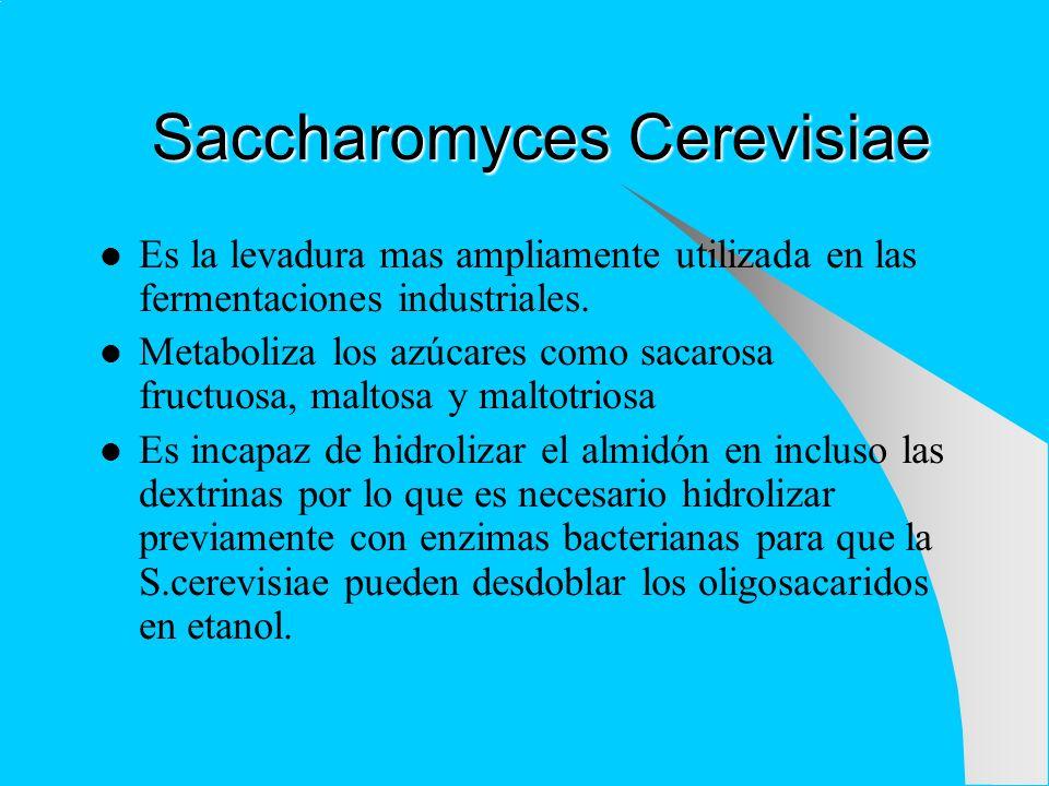 Saccharomyces Cerevisiae Es la levadura mas ampliamente utilizada en las fermentaciones industriales. Metaboliza los azúcares como sacarosa fructuosa,