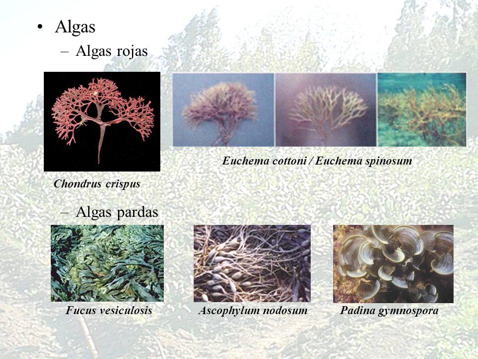Algas –Algas rojas –Algas pardas Chondrus crispus Euchema cottoni / Euchema spinosum Fucus vesiculosisAscophylum nodosum Padina gymnospora