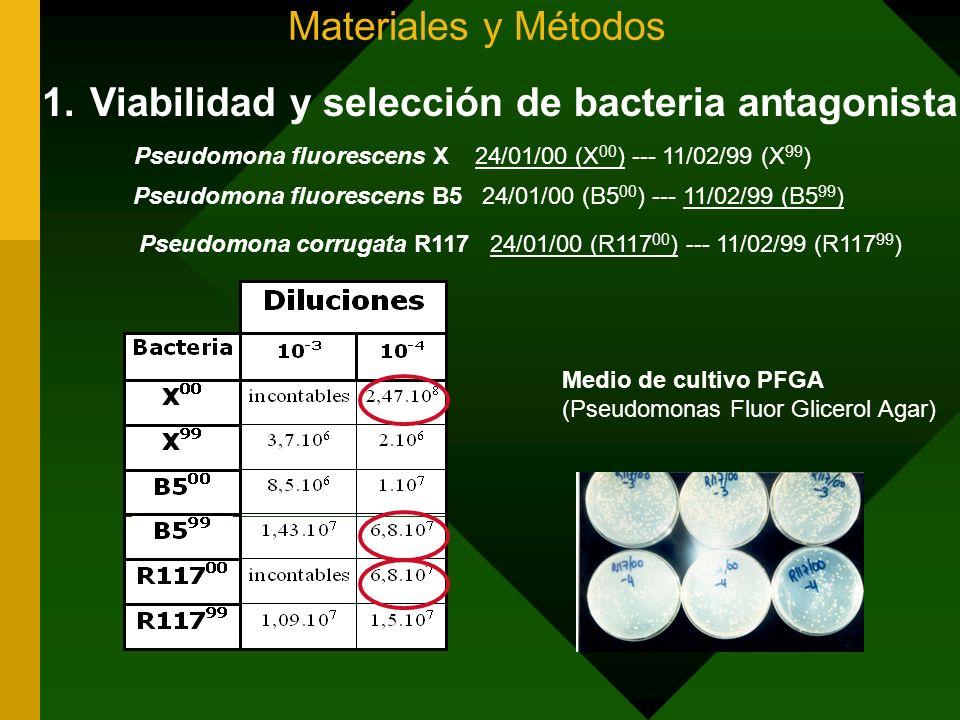 Materiales y Métodos 1.Viabilidad y selección de bacteria antagonista Pseudomona fluorescens X 24/01/00 (X 00 ) --- 11/02/99 (X 99 ) Pseudomona fluore