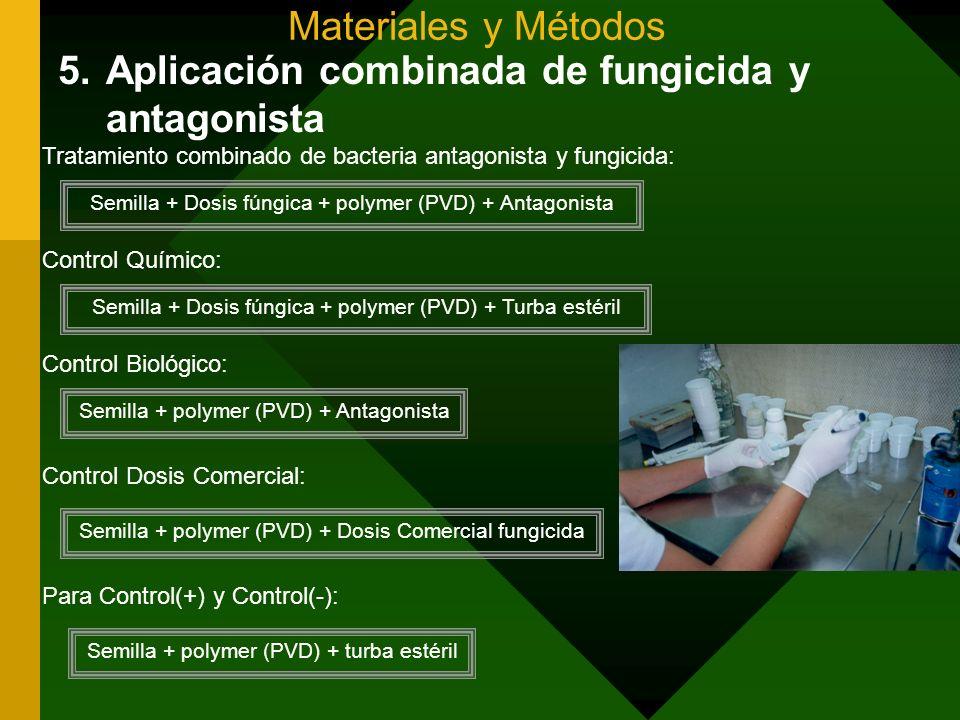 Materiales y Métodos 5.Aplicación combinada de fungicida y antagonista Tratamiento combinado de bacteria antagonista y fungicida: Semilla + Dosis fúng