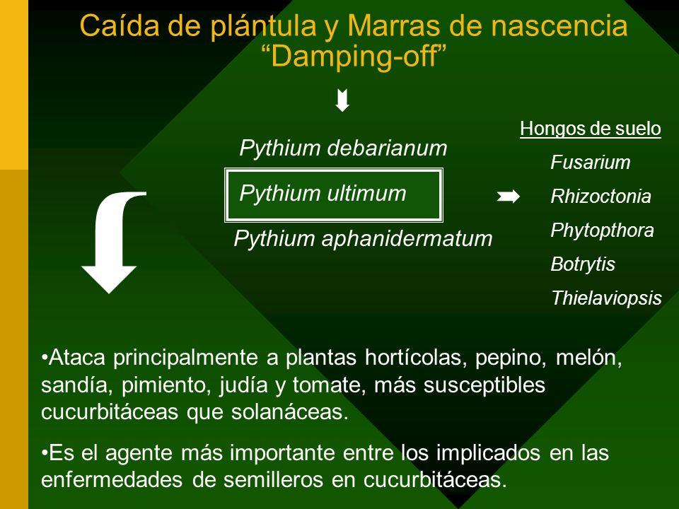 Materiales y Métodos 1.Viabilidad y selección de bacteria antagonista Pseudomona fluorescens X 24/01/00 (X 00 ) --- 11/02/99 (X 99 ) Pseudomona fluorescens B5 24/01/00 (B5 00 ) --- 11/02/99 (B5 99 ) Pseudomona corrugata R117 24/01/00 (R117 00 ) --- 11/02/99 (R117 99 ) Medio de cultivo PFGA (Pseudomonas Fluor Glicerol Agar)