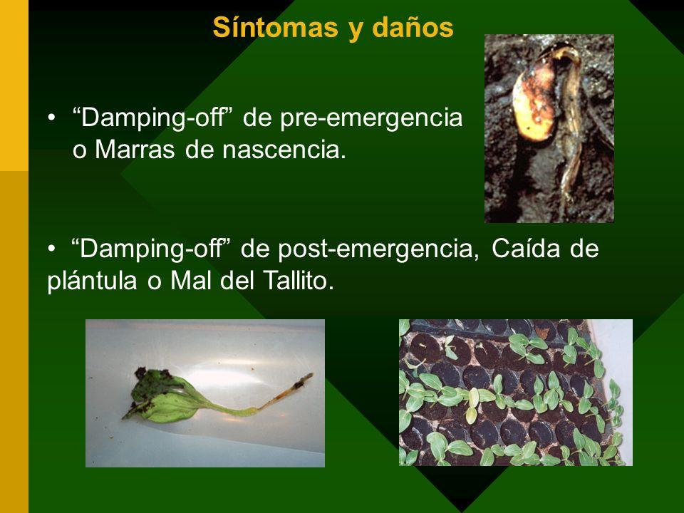 Síntomas y daños Damping-off de pre-emergencia o Marras de nascencia. Damping-off de post-emergencia, Caída de plántula o Mal del Tallito.