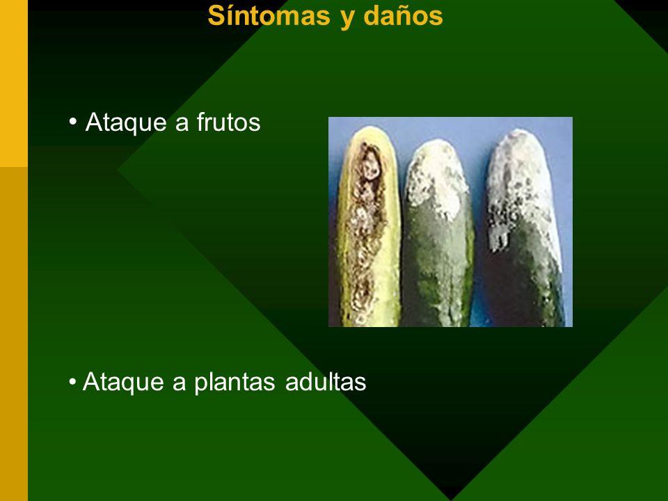 Síntomas y daños Ataque a plantas adultas Ataque a frutos