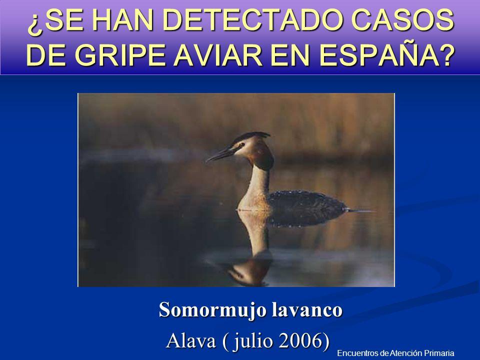 Encuentros de Atención Primaria ¿SE HAN DETECTADO CASOS DE GRIPE AVIAR EN ESPAÑA? Somormujo lavanco Alava ( julio 2006)