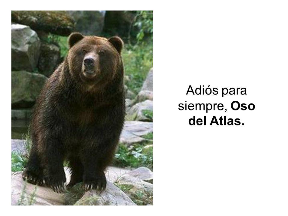 Adiós para siempre, Oso del Atlas.
