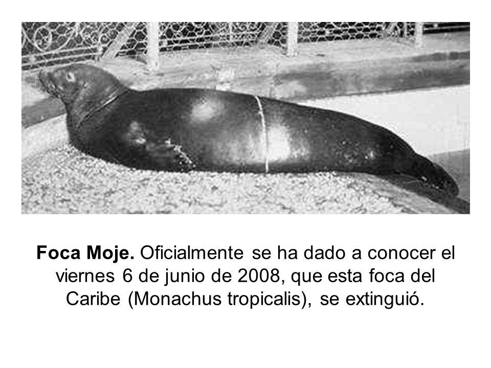 Foca Moje. Oficialmente se ha dado a conocer el viernes 6 de junio de 2008, que esta foca del Caribe (Monachus tropicalis), se extinguió.