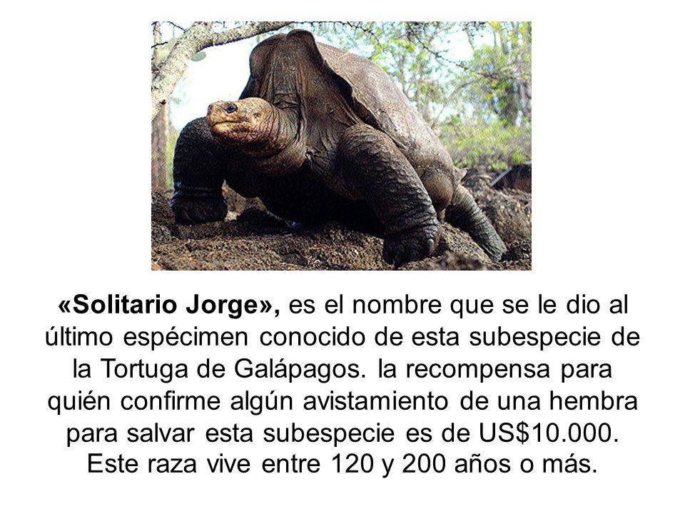«Solitario Jorge», es el nombre que se le dio al último espécimen conocido de esta subespecie de la Tortuga de Galápagos. la recompensa para quién con