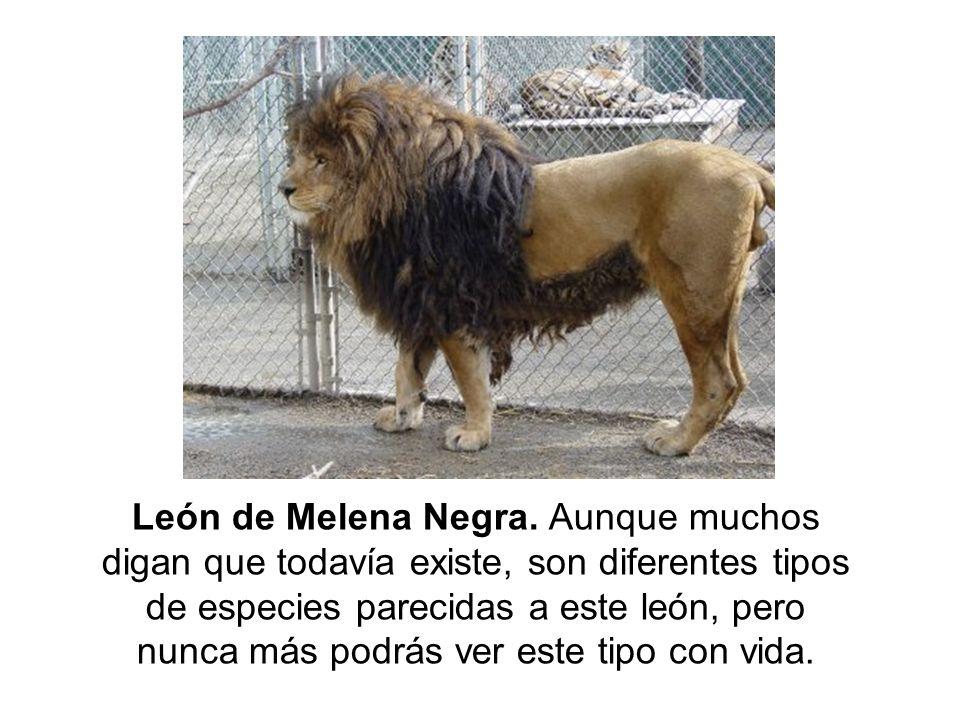 León de Melena Negra. Aunque muchos digan que todavía existe, son diferentes tipos de especies parecidas a este león, pero nunca más podrás ver este t