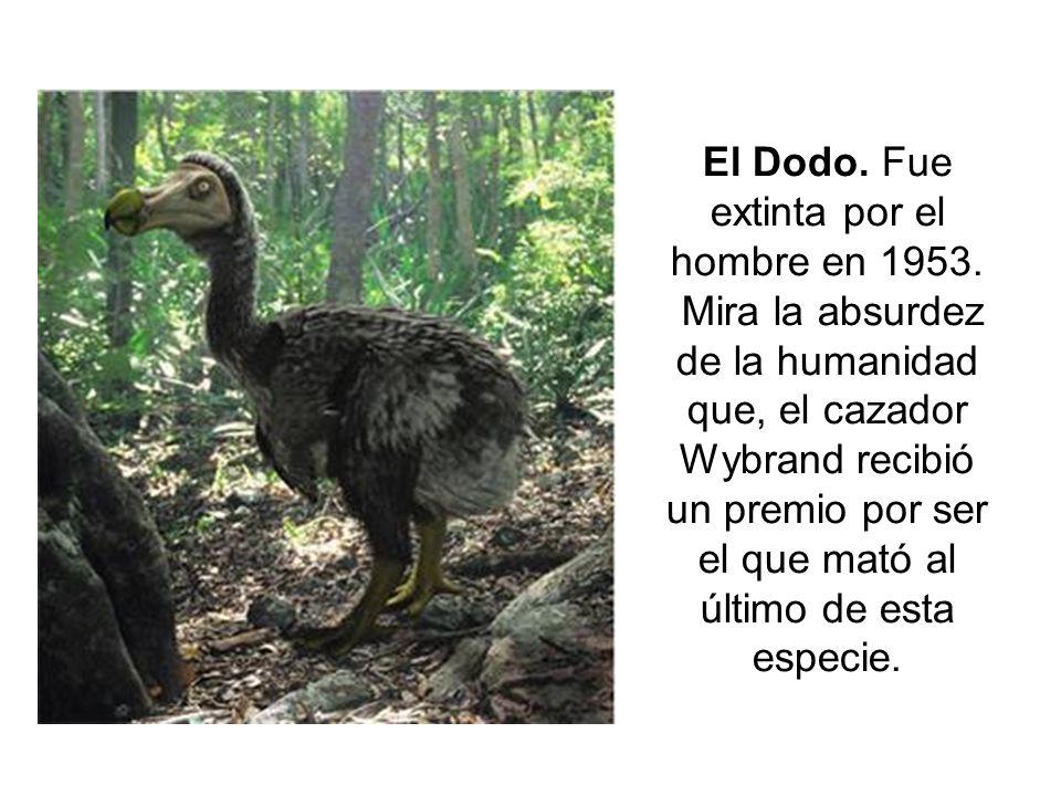 El Dodo. Fue extinta por el hombre en 1953. Mira la absurdez de la humanidad que, el cazador Wybrand recibió un premio por ser el que mató al último d