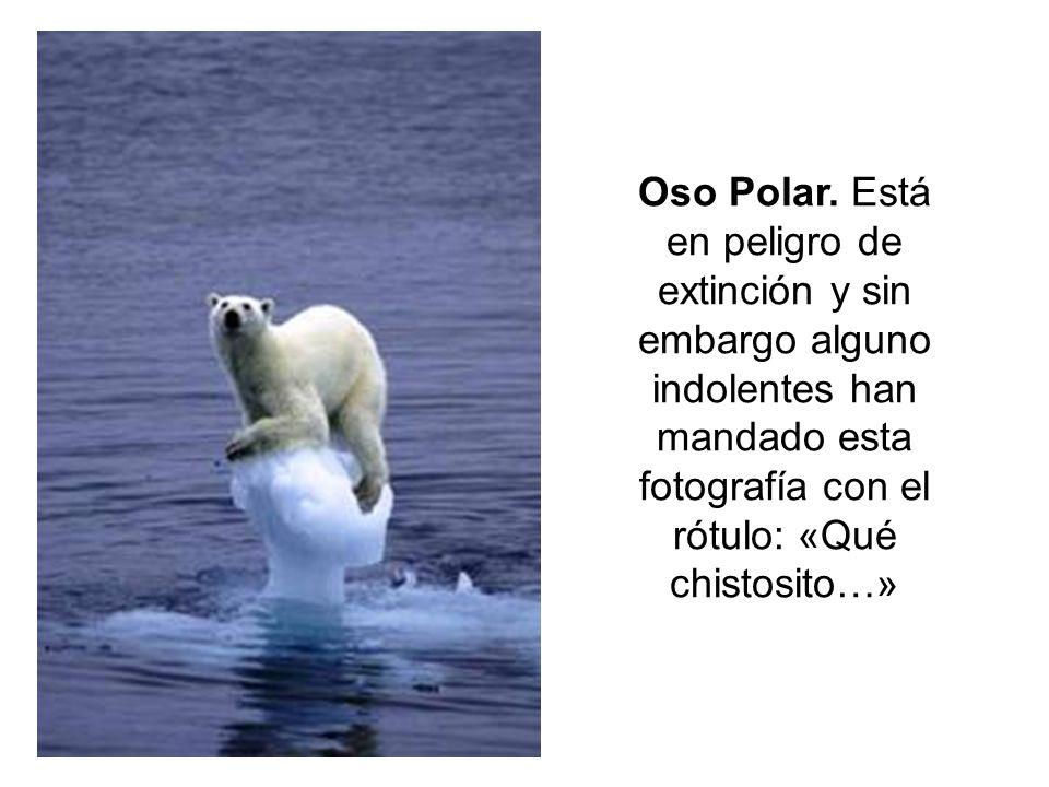 Oso Polar. Está en peligro de extinción y sin embargo alguno indolentes han mandado esta fotografía con el rótulo: «Qué chistosito…»