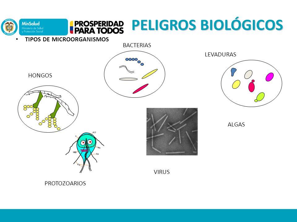 TIPOS DE MICROORGANISMOS BACTERIAS HONGOS PROTOZOARIOS ALGAS LEVADURAS VIRUS PELIGROS BIOLÓGICOS