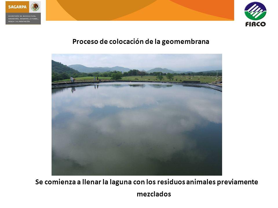 Proceso de colocación de la geomembrana Se comienza a llenar la laguna con los residuos animales previamente mezclados