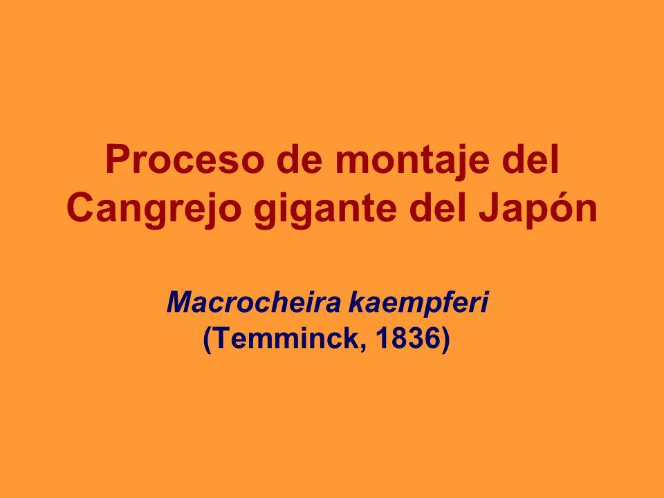 Proceso de montaje del Cangrejo gigante del Japón Macrocheira kaempferi (Temminck, 1836)