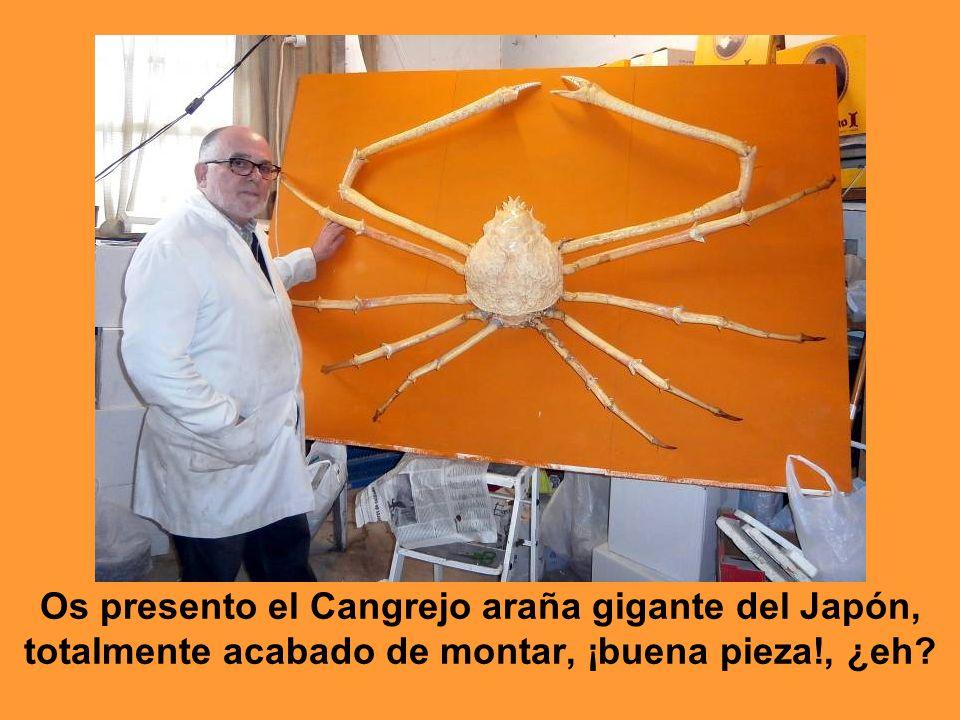 Os presento el Cangrejo araña gigante del Japón, totalmente acabado de montar, ¡buena pieza!, ¿eh?