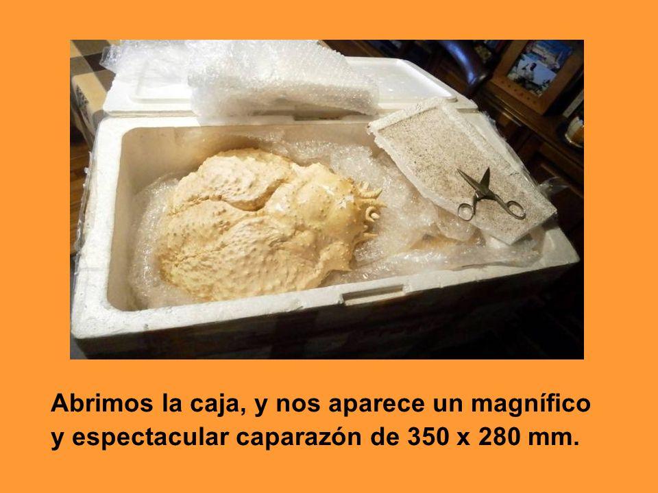 Abrimos la caja, y nos aparece un magnífico y espectacular caparazón de 350 x 280 mm.